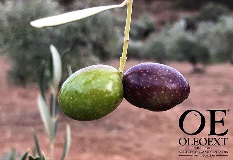 Que es el envero. Conceptos del mundo del aceite de oliva