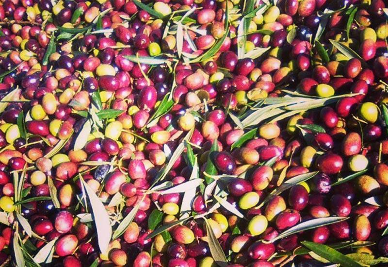 Que es el envero. Conceptos del mundo del aceite de oliva virgen extra