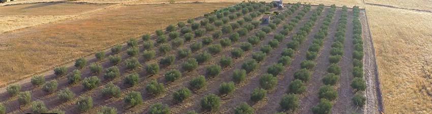 Vista aérea del olivar de Oleoext, en Carrascalejo, Cáceres, Extremadura
