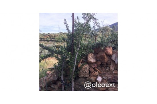 Injertando un Acebuche, el Olivo Silvestre